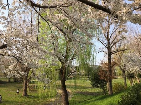 アーバン公園付近-1 桜と柳450.jpg