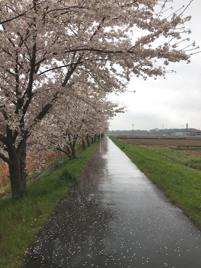アーバン調整池桜並木-1.jpg