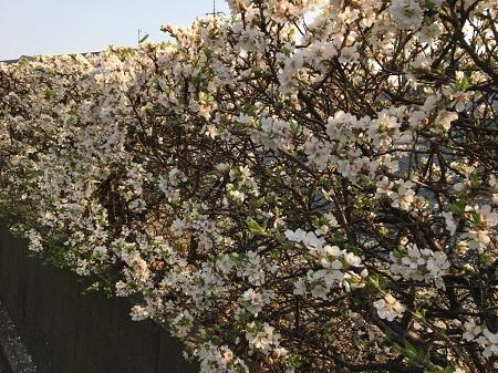桜の生垣-1450.jpg