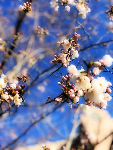 0320桜.jpg